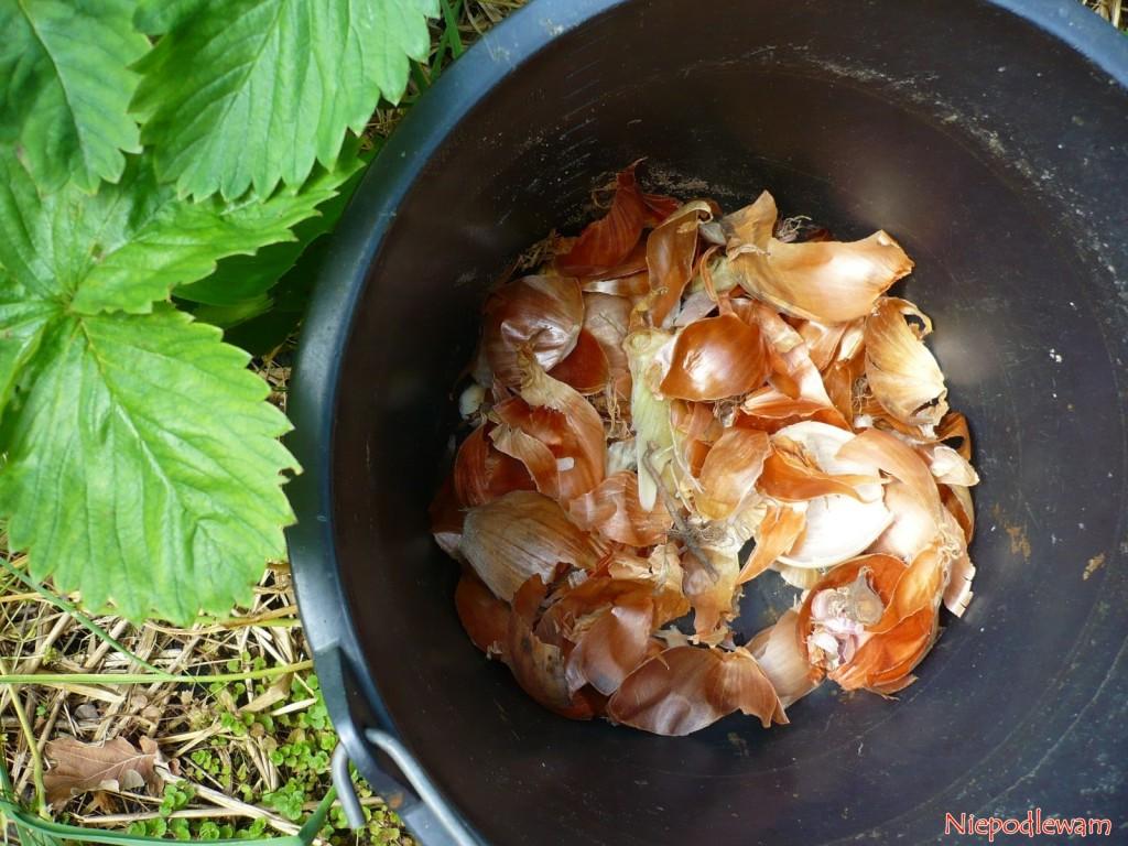 Wywar zcebuli niszczy roztocza truskawkowe, które powodują m.in.karłowacenie truskawek. Przygotowuje się go złusek icałych cebul. Fot.Niepodlewam