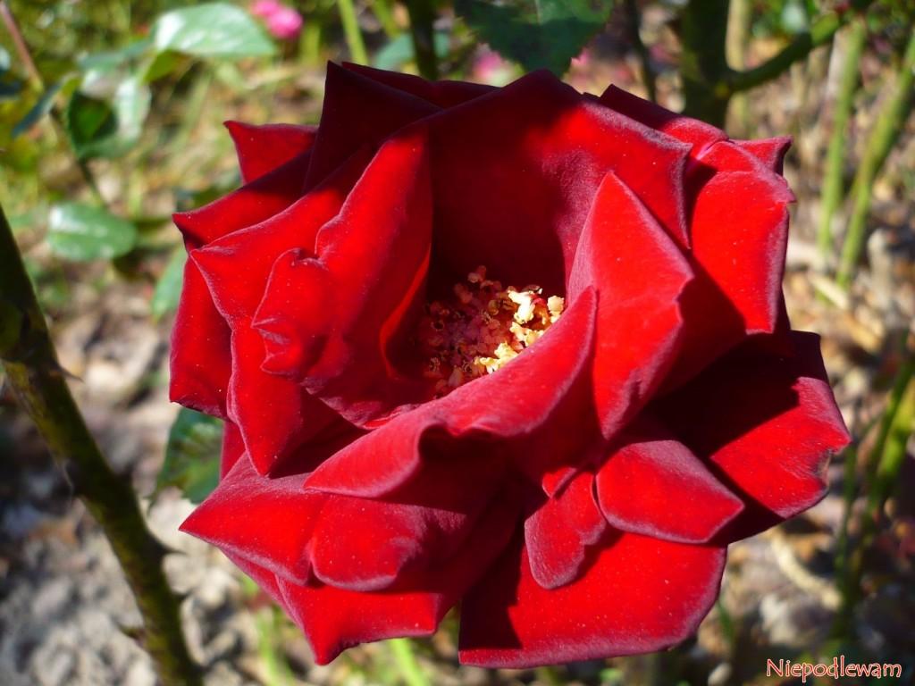 Róża Schwarze Madonna ma ciemnoczerwone kwiaty z czarnym odcieniem. Fot. Niepodlewam