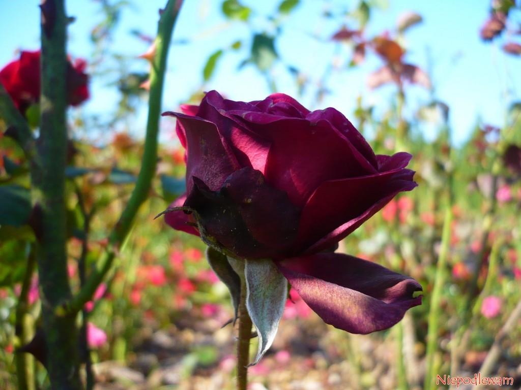 Płatki przekwitłych kwiatów Schwarze Madonna często zasychają na krzaku. Fot. Niepodlewam