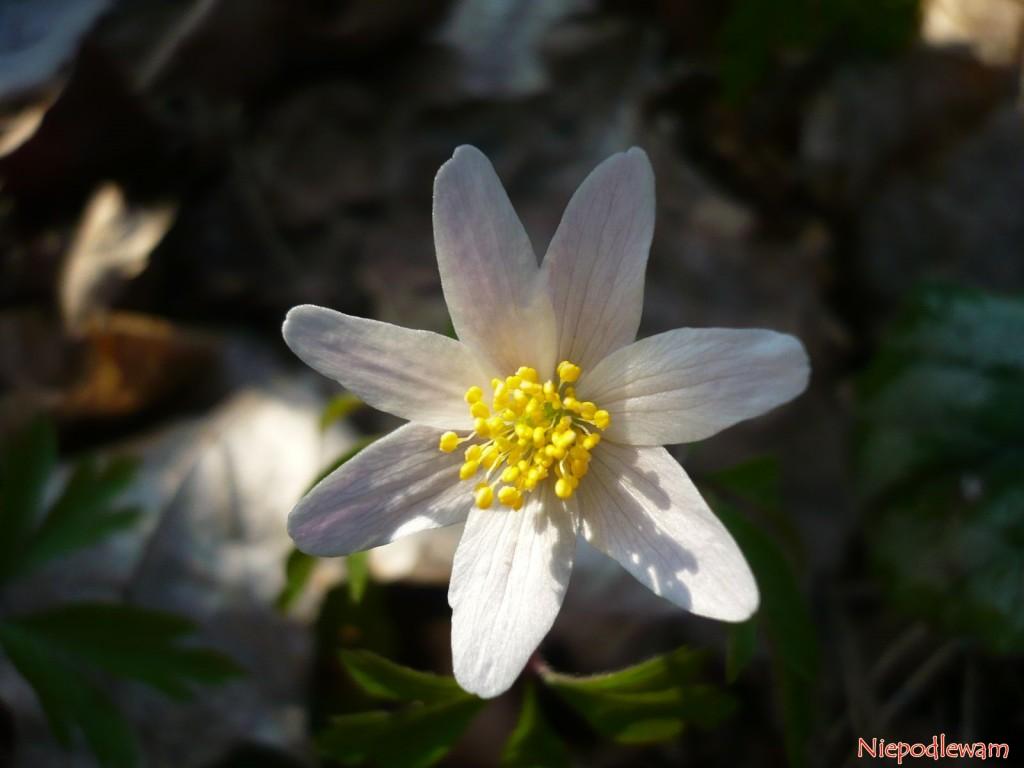Zawilec gajowy ma kwiaty o średnicy około 2 cm, najczęściej białe. Fot. Niepodlewam