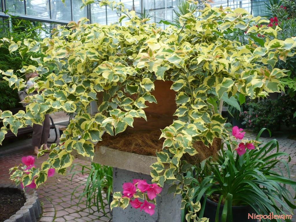 Bugenwilla o liściach pstrych - to okaz rosnący w Ogrodzie Botanicznym w Powsinie. Fot.