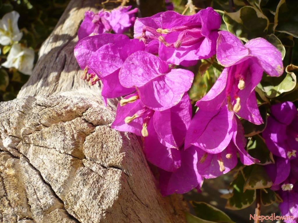 Bugenwilla to pnącze, ale poprzez mocne cięcie można ją prowadzić jako niskie drzewko, a nawet bonsai. Jej drewno jest jasne, porowate. Fot. Niepodlewam