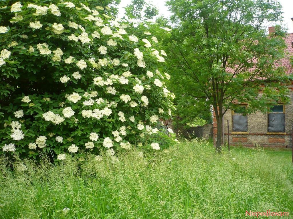 Dziki bezczarny często rośnie obok starych, opuszczonych budynków. Fot.Niepodlewam