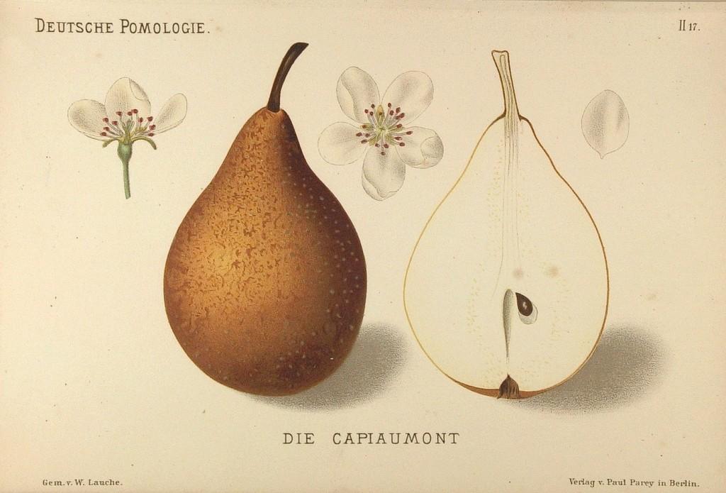 """Grusza Kapiomont – rysunek zksiążki """"Deutsche Pomologie"""" Wilhelma Lauche z1882-1883, zezborów biblioteki Wageningen UR."""