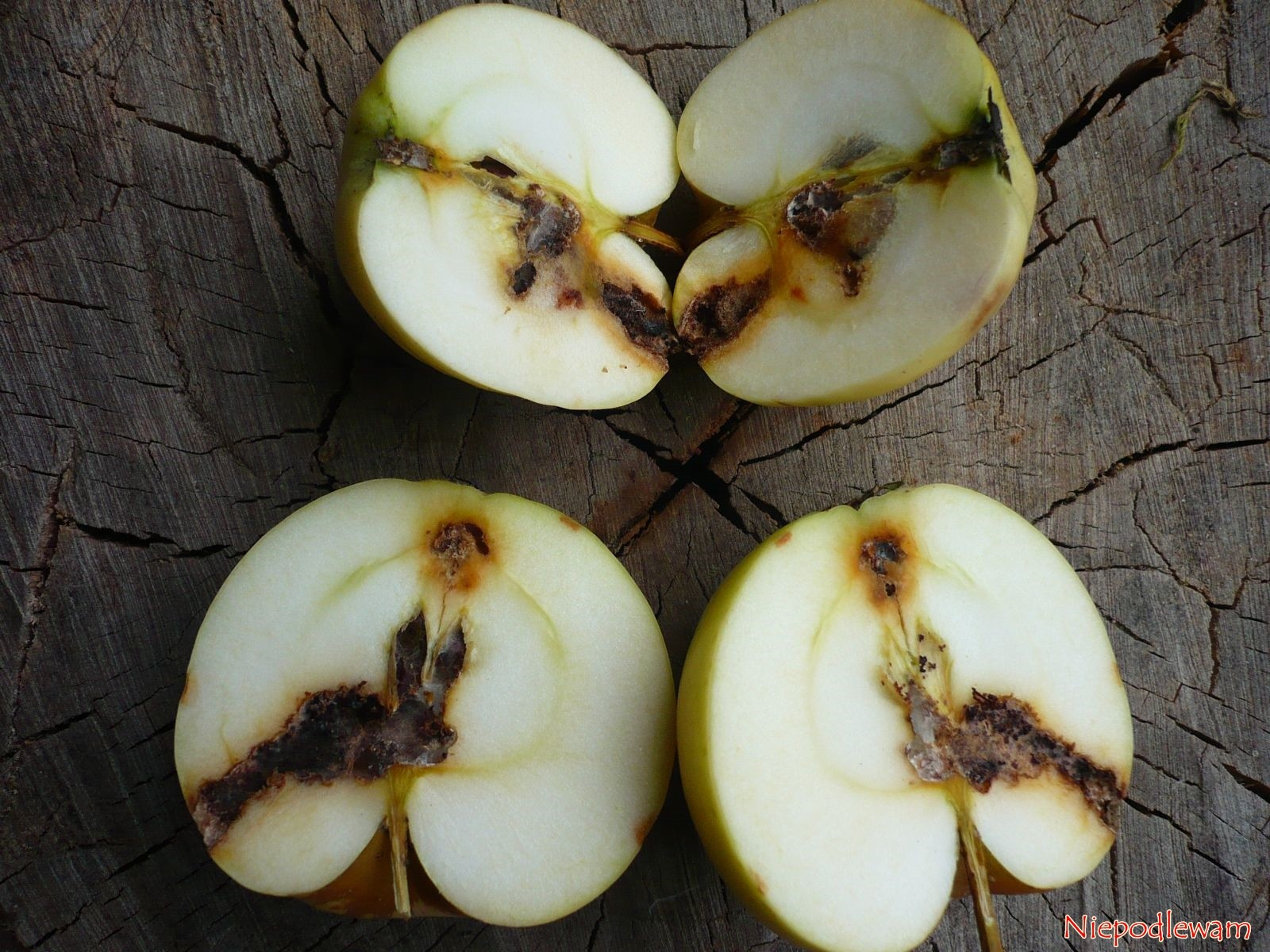 Robaczywieniu jabłek można zapobiegać. Nie trzeba stosować oprysków. Fot. Niepodlewam