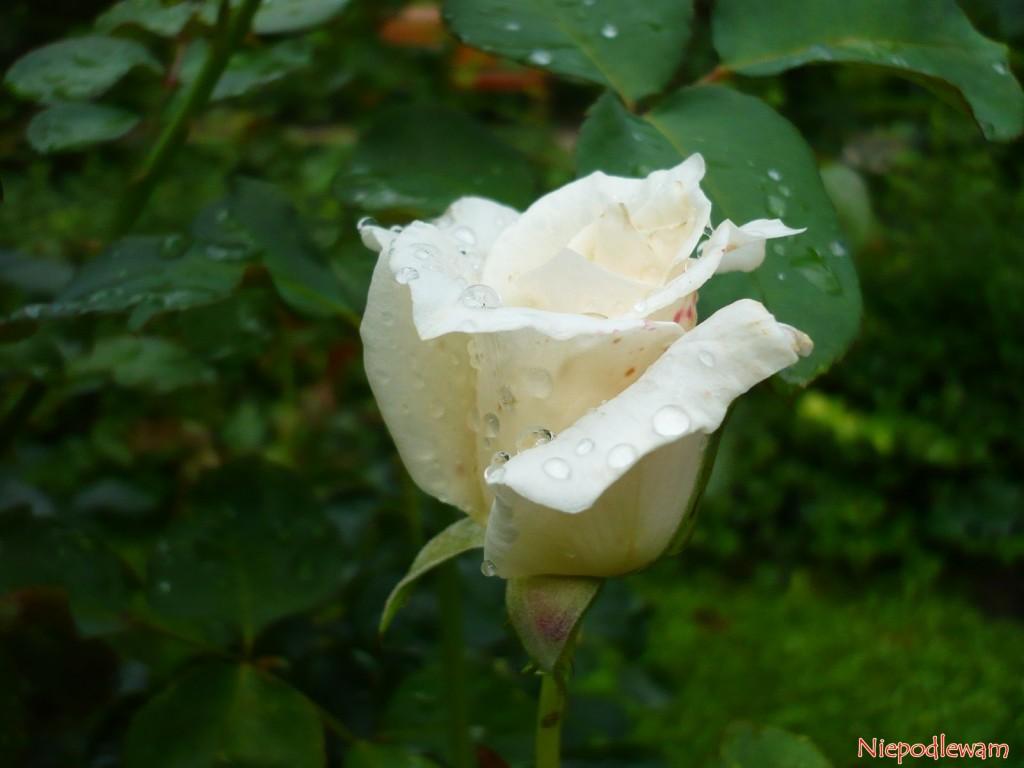 Róża Papst Johannes XXIII. Fot. Niepodlewam