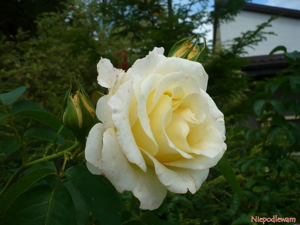 Róża Fryderyk Chopin.Fot. Niepodlewam