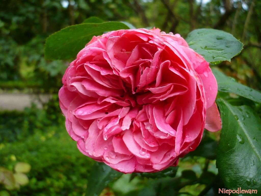 Róża Leonardo da Vinci. Fot. Niepodlewam