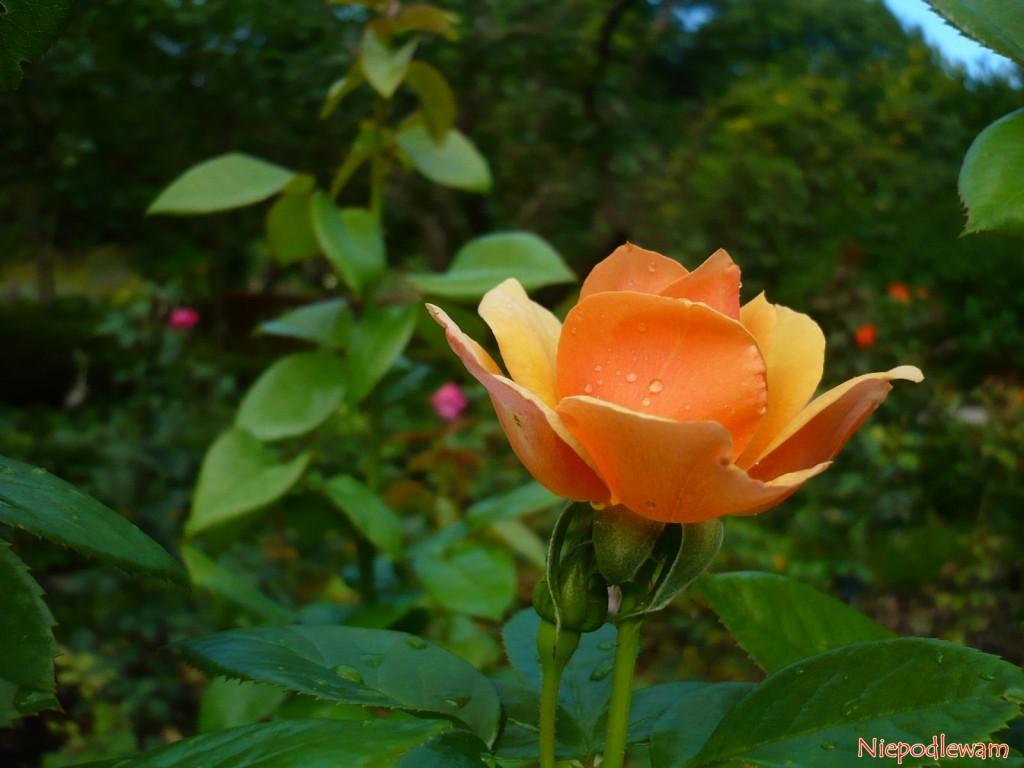 Róża Profesor Kownas. Fot. Niepodlewam