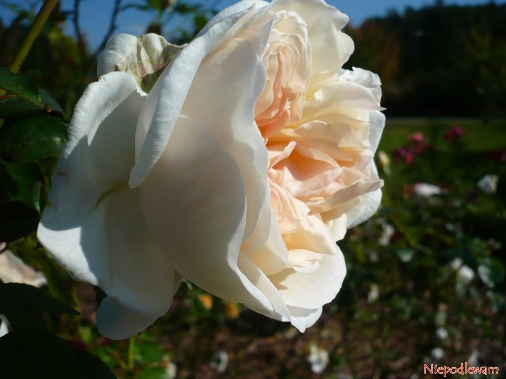 Róża Sebastian Kneipp. Fot. Niepodlewam
