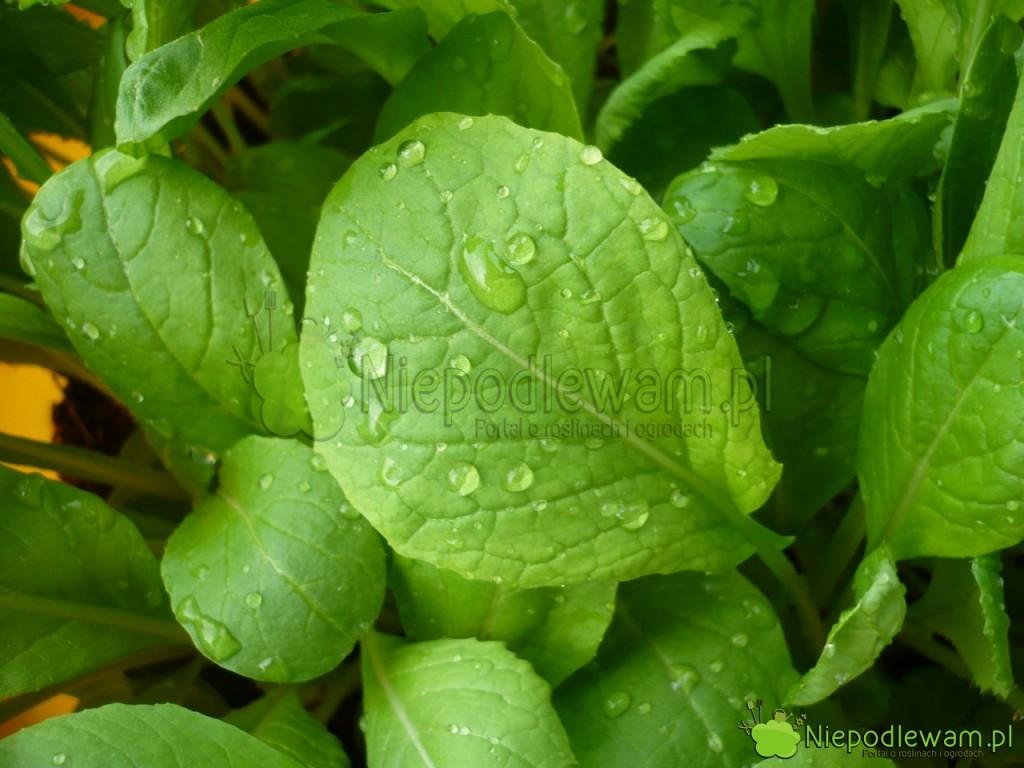 Komatsuna jest bardzo łatwa wuprawie iszybko rośnie. Fot.Niepodlewam