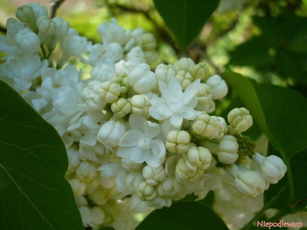 Pączki kwiatowe lilaka Madame Lemoine mają charakterystyczny jasnożółty (kremowy) kolor. Po rozwinięciu stają się białe. Fot. Niepodlewam