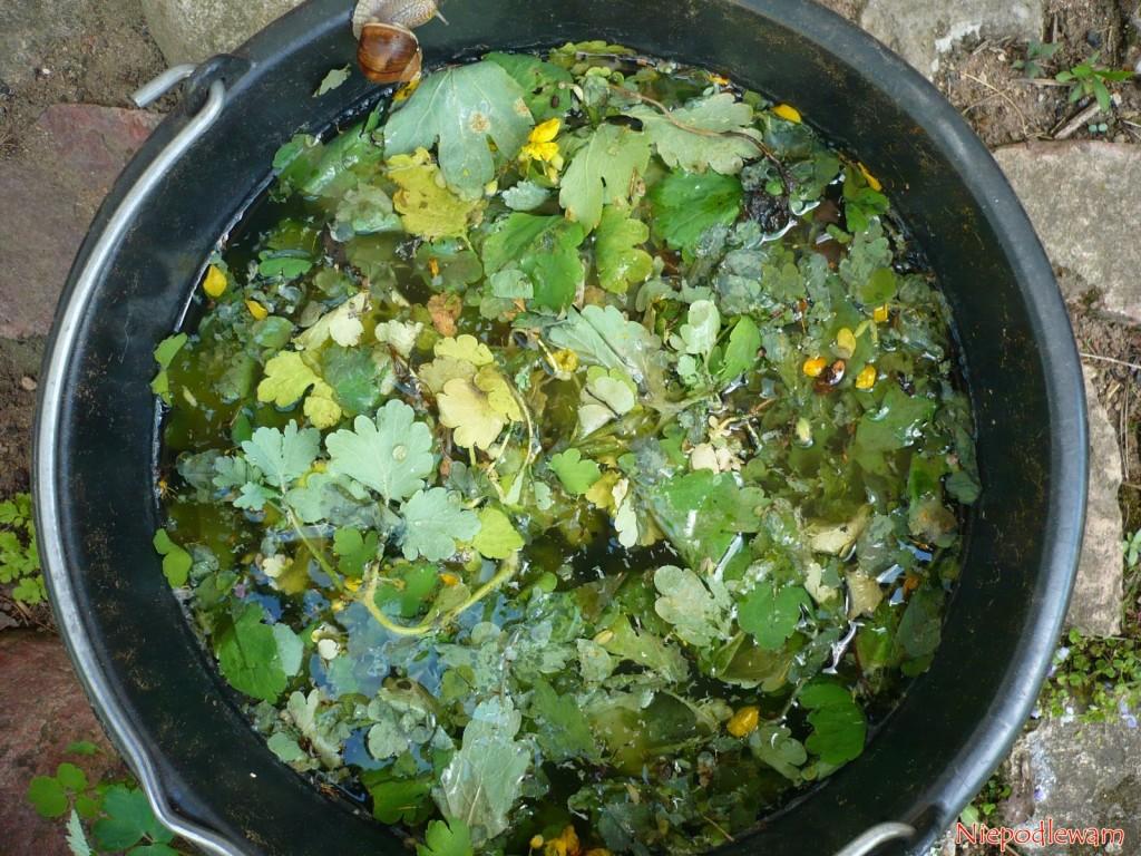 """Zalany wodą glistnik jaskółcze ziele warto ojakiś czas zamieszać, bo przezpierwsze dni pędy """"wychodzą"""" nadpowierzchnię wody. Fot.Niepodlewam"""