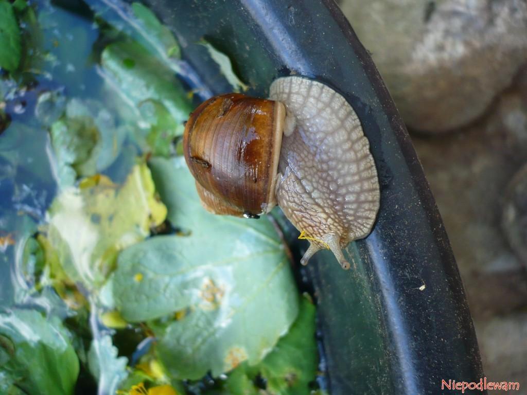 W pierwszych dniach przygotowywania gnojówka zwabia ślimaki winniczki. Potrafią nawet wejść dośrodka wiaderka, nieprzejmując się wodą. Fot.Niepodlewam