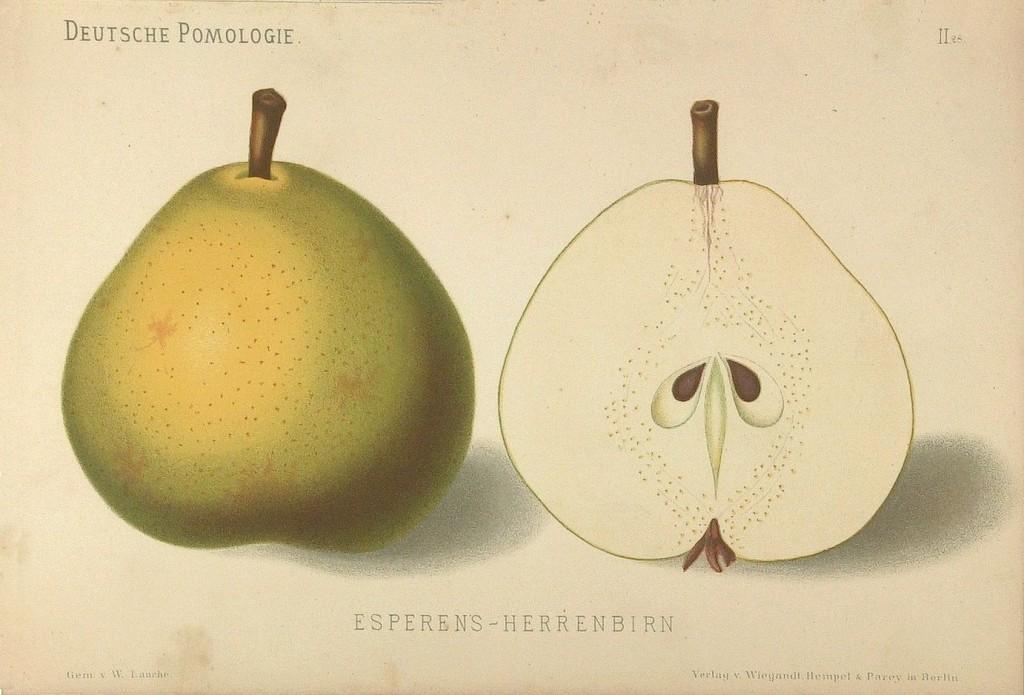 """Grusza Esperena Pańska – rysunek zksiążki """"Deutsche Pomologie"""" Wilhelma Lauche z1882-1883, zezborów biblioteki Wageningen UR."""
