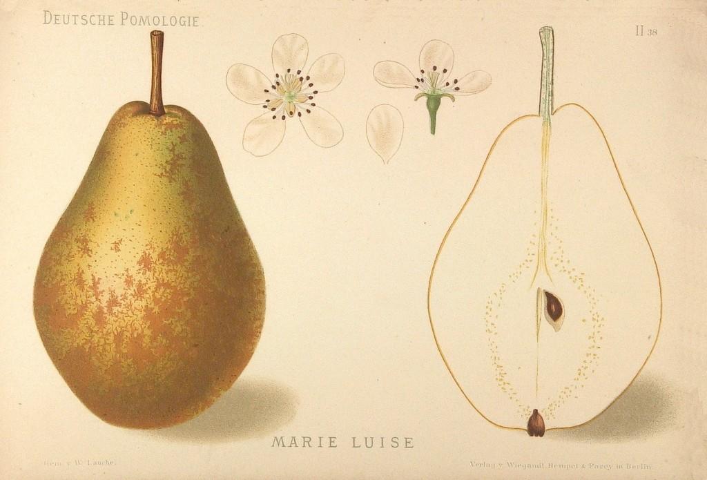 """Grusza Maria Ludwika – rysunek z książki """"Deutsche Pomologie"""" Wilhelma Lauche z 1882-1883, ze zborów biblioteki Wageningen UR."""
