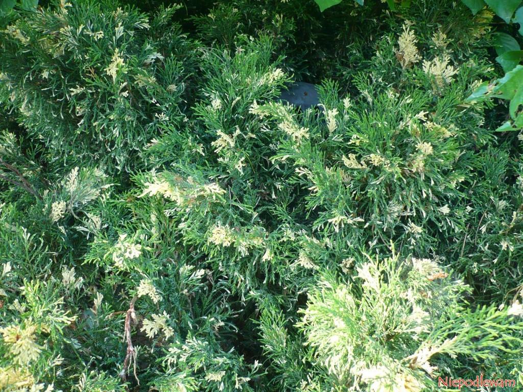 Jałowiec sabiński Variegata rośnie bardzo wolno ima ciekawy kremowo-szarozielony kolor. Trudno zauważyć, żeśród jego gałęzi znajduje się wywiewka wentylacyjna przydomowej oczyszczalni ścieków. Fot.Niepodlewam