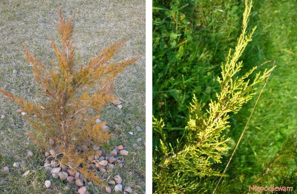 Jałowiec sabiński (Juniperus sabina) zmienia kolor zimą, mniej lub bardziej wzależności ododmiany. Nazdjęciu jest ten sam krzew odmiany Tamariscifolia - zimą (rudawy) ilatem (zielony). Fot.Niepodlewam