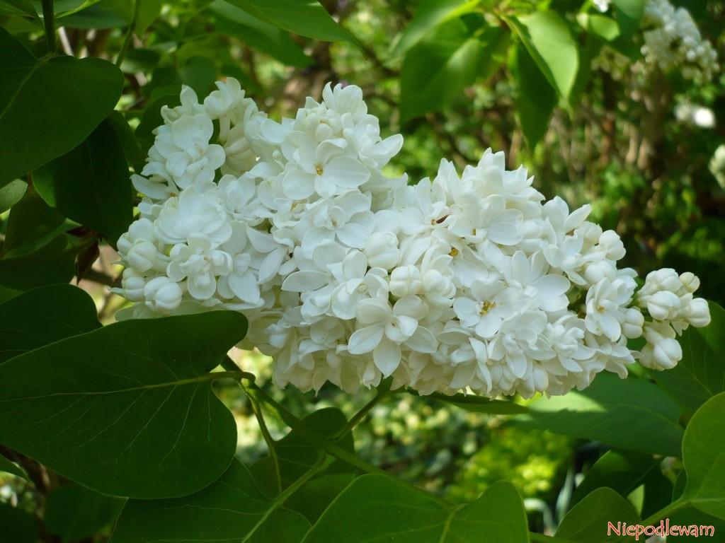 Lilak pospolity Madame Lemoine (Syringa vulgaris) został wyhodowany w 1922 roku. Ma białe, podwójne kwiaty, które bardzo pięknie i mocno pachną. Fot. Niepodlewam