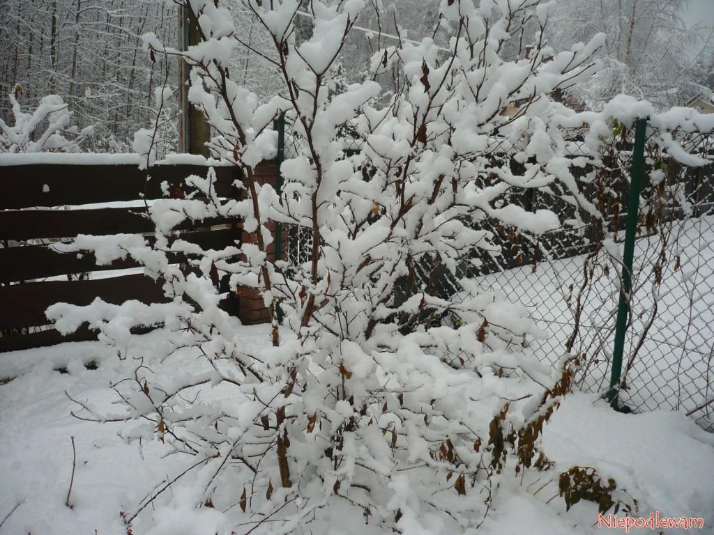 Magnolia purpurowa Nigra dobrze znosi mróz. Fot. Niepodlewam