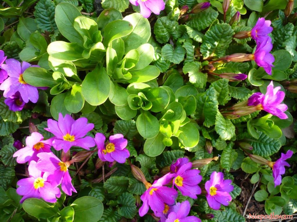 Roszponka warzywna (Valerianella locusta) to roślina jadalna, do przyrządzania sałatek. Rozsiewa się tak łatwo, że potrafi zachwaścić ogród. Roszponka warzywna jest spokrewniona z kozłkiem lekarskim. Nie choruje, nie lubią jej ślimaki i drutowce. Fot. Niepodlewam