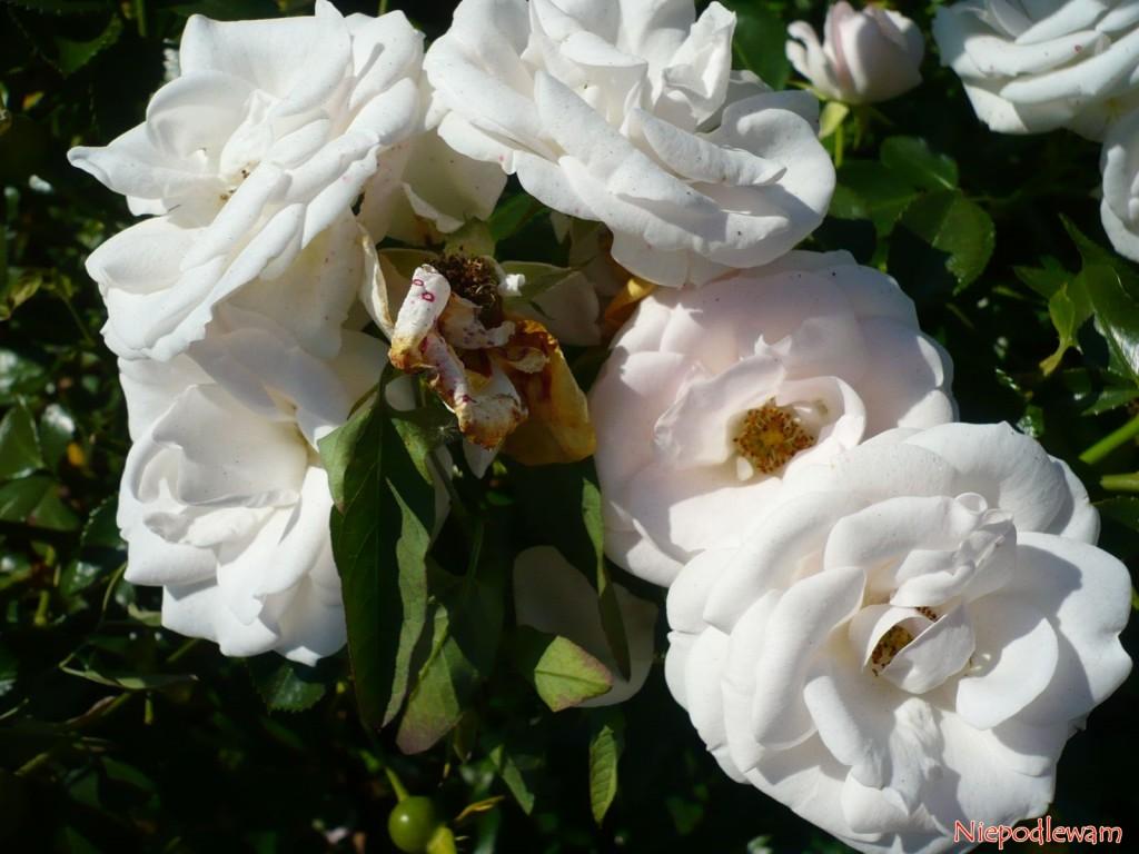 Róża Aspirin Rose ma białe, słabo pachnące kwiaty. Fot. Niepodlewam