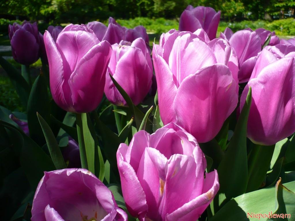 Tulipany Aleksander Kwaśniewski są różowo-fioletowe idorodne. Fot.Niepodlewam