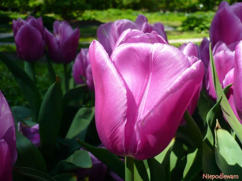 Tulipan Aleksander Kwaśniewski to zdrowo rosnąca odmiana. Fot. Niepodlewam