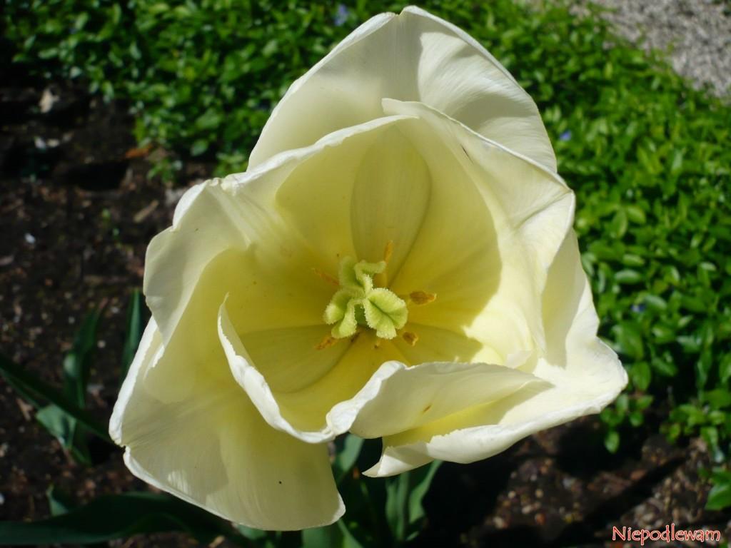 Tulipan Maria Kaczyńska ma jasne także wnętrze kwiatu, w tym słupek i pręciki. Fot. Niepodlewam