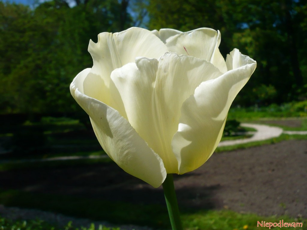 Tulipan Maria Kaczyńska - z profilu kształt kwiatu przypomina miękko układającą się suknię. Fot. Niepodlewam