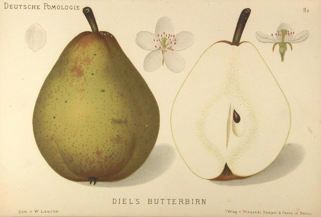 """Grusza Bera Diela – rysunek z książki """"Deutsche Pomologie"""" Wilhelma Lauche z 1882-1883, ze zborów biblioteki Wageningen UR."""