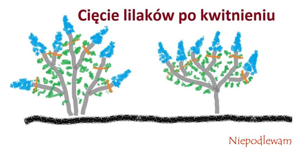 Rysunek 1: Lilaki z zaznaczonymi miejscami cięcia. Tak samo przycina się bzy krzaczaste i na pniu.