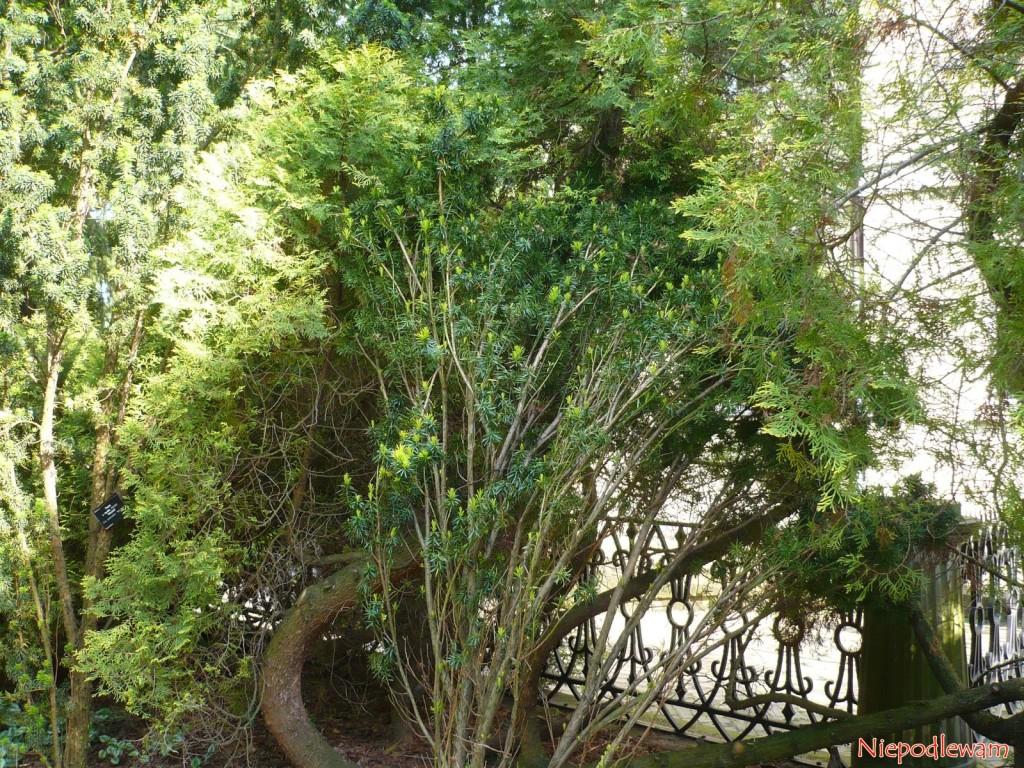 Cis pośredni Krzysztof – ten stary okaz rośnie wOgrodzie Botanicznym wWarszawie. Fot.Niepodlewam