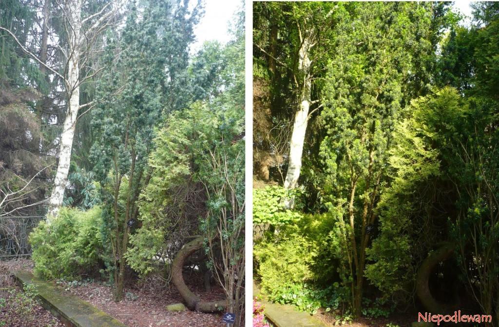 Stary cis pośredni Wojtek ma kształt wąskiej litery V. Ten egzemplarz rośnie w Ogrodzie Botanicznym w Warszawie. Zdjęcie po lewej stronie było zrobione w marcu (III), a po prawej - w maju (V). Fot. Niepodlewam