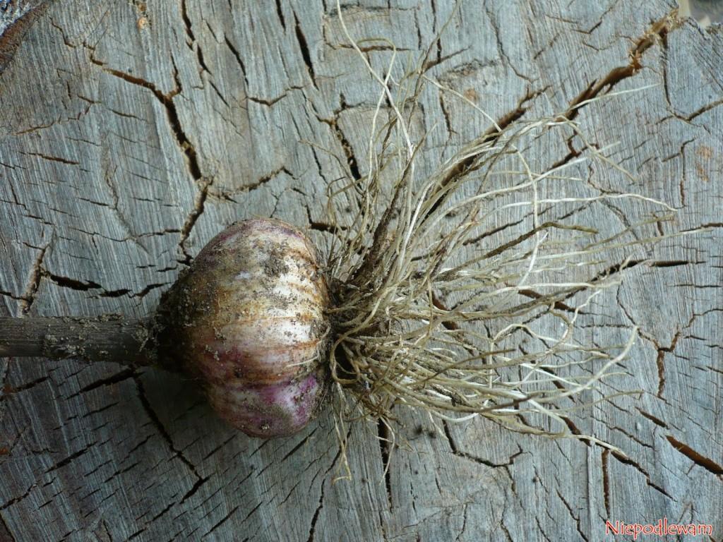 Czosnek w ząbkach jest zbyt cenny, by przeznaczać go na gnojówkę. Można jednak wykorzystać korzenie i łuski z ząbków. Fot. Niepodlewam