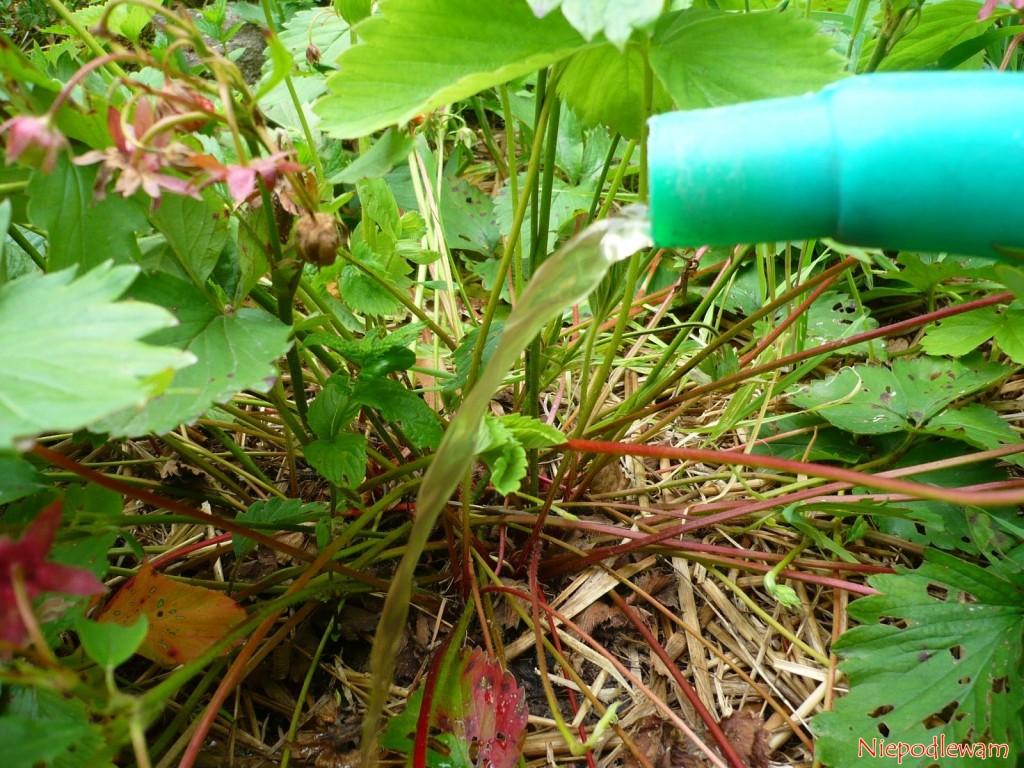 Czosnek w gnojówce wzmacnia m.in. truskawki. Są bardziej odporne na choroby grzybowe. Fot. Niepodlewam