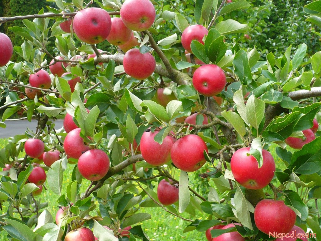 Jabłka Katja tuż przed zbiorem w połowie sierpnia (VIII). W Szwecji, skąd pochodzi jabłoń Katja, dojrzewają później - we wrześniu (IX). Fot. Niepodlewam