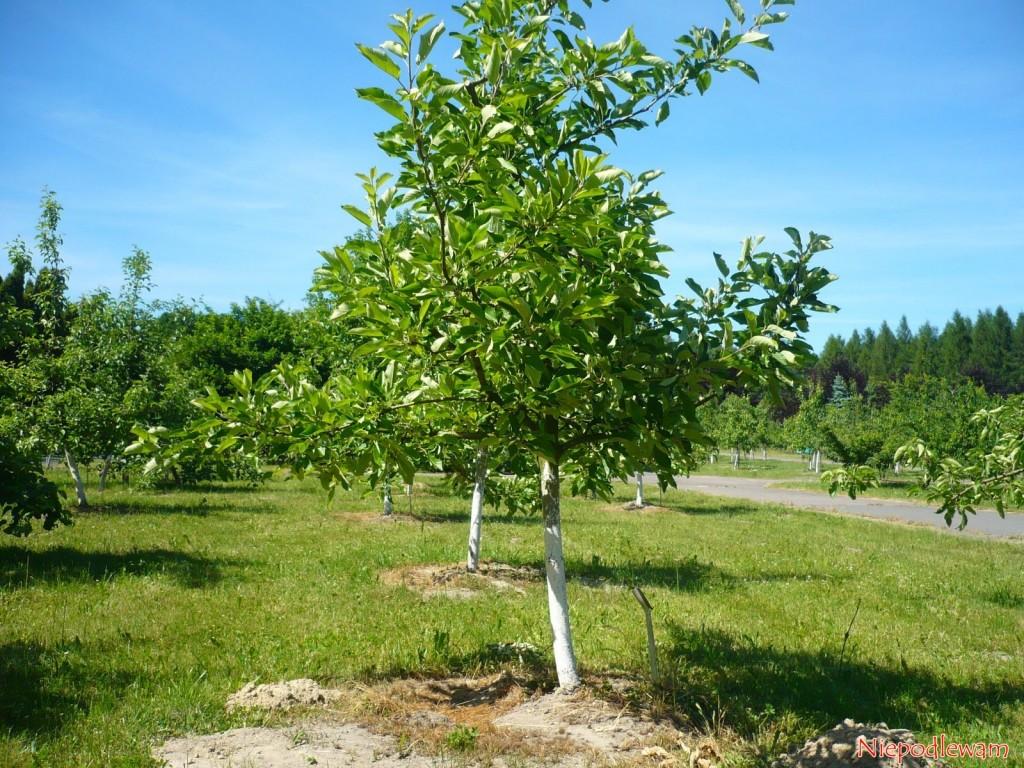 Jabłoń Katja rośnie średnio intensywnie. Fot.Niepodlewam