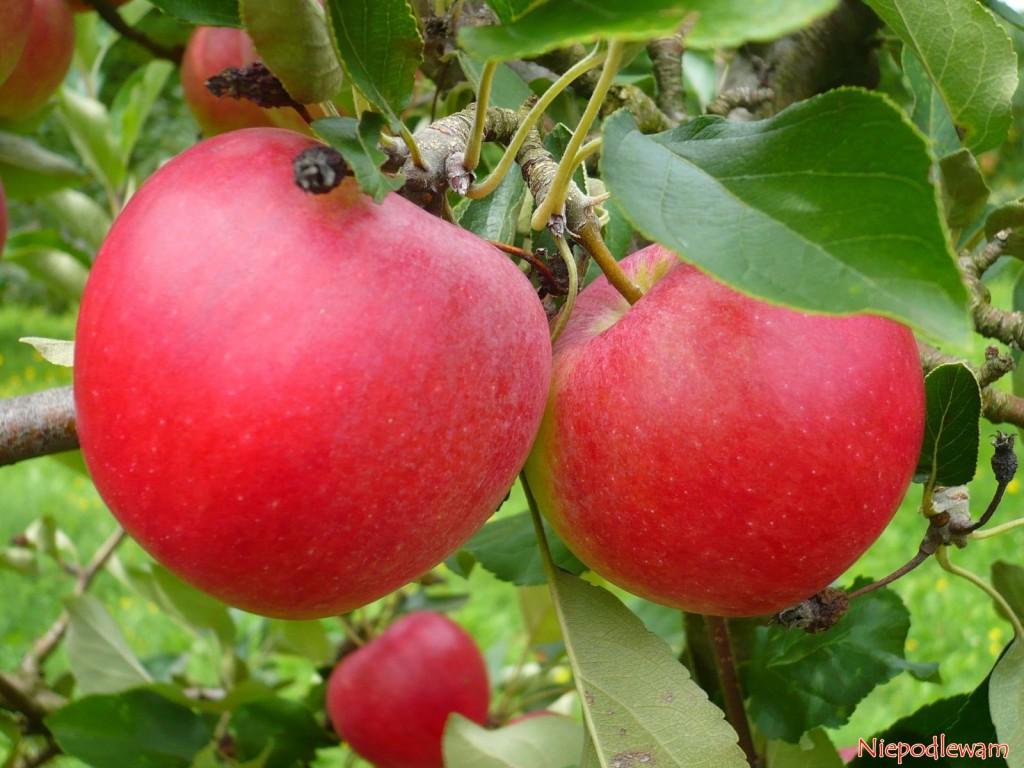 Jabłoń Katja to jedna z najlepszych odmian letnich. Jej jabłka są bardzo soczyste, pyszne, z delikatną nutą truskawkową. Fot. Niepodlewam