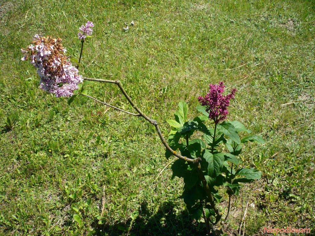 To przykład w jak różnych terminach kwitną bzy: lilak ottawski (ciemniejszy) dopiero zaczyna kwitnąć, a lilak pospolity, na którym jest zaszczepiony, już kończy kwitnienie. Fot. Niepodlewam