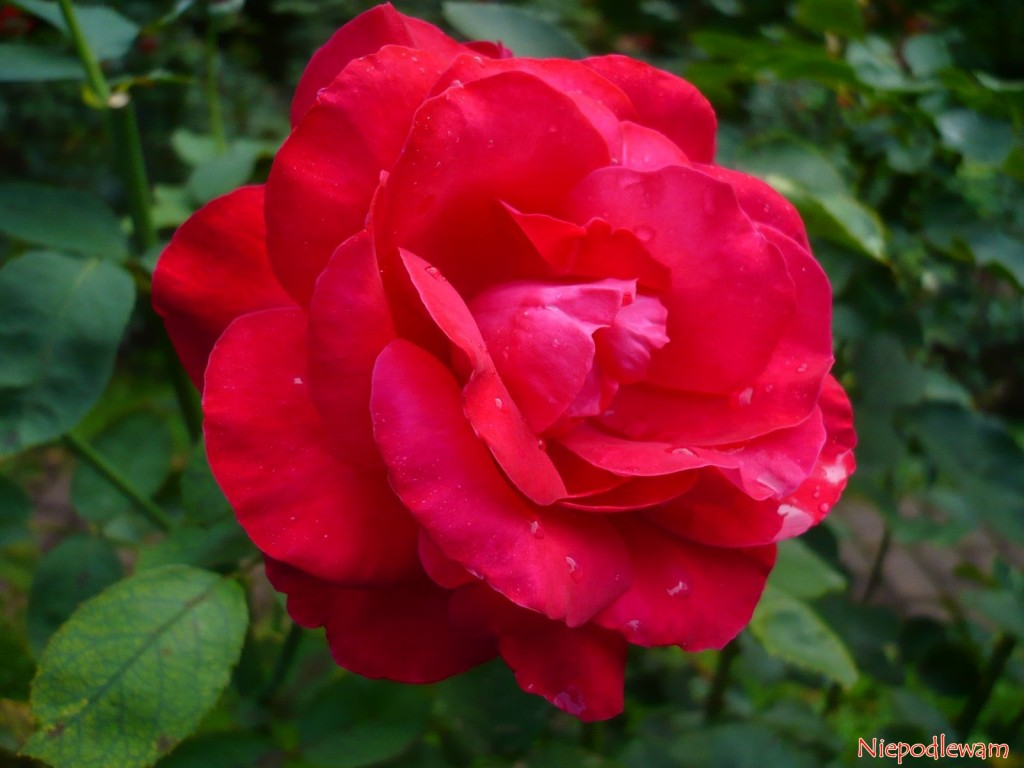 Róża Dame de Coeur ma czerwone, pachnące kwiaty. Fot. Niepodlewam