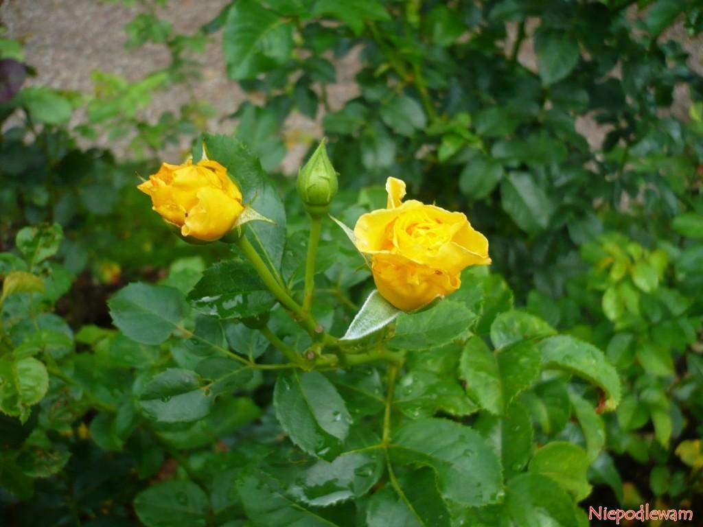 Zewnętrzne płatki pąków róży Reine Lucia mają czerwonawy kolor. Wmiarę rozwijania się kwiatów czerwień znika. Fot.Niepodlewam