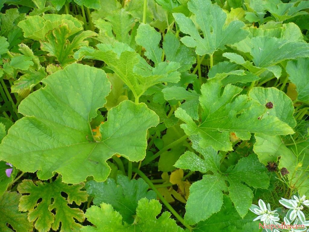 Jeśli planuje się siew warzyw w czerwcu, warto uwzględnić kabaczki. Wschodzą szybko. Fot. Niepodlewam