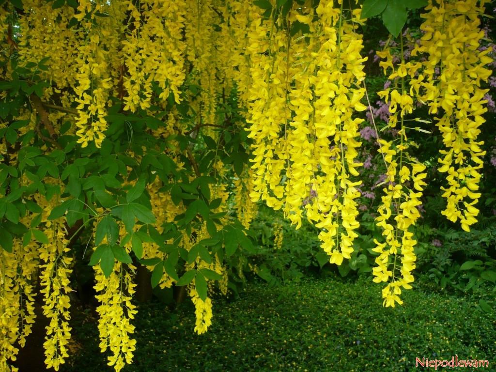 Złotokap Waterera Wossii (Leburnum watereri) ma żółte kwiatostany o długości około 50 cm. Fot. Niepodlewam