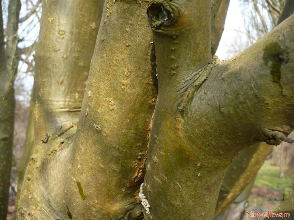 Stare złotokapy osiągają znaczne wymiary. Ich wysokość i szerokość można regulować cięciem. Fot. Niepodlewam