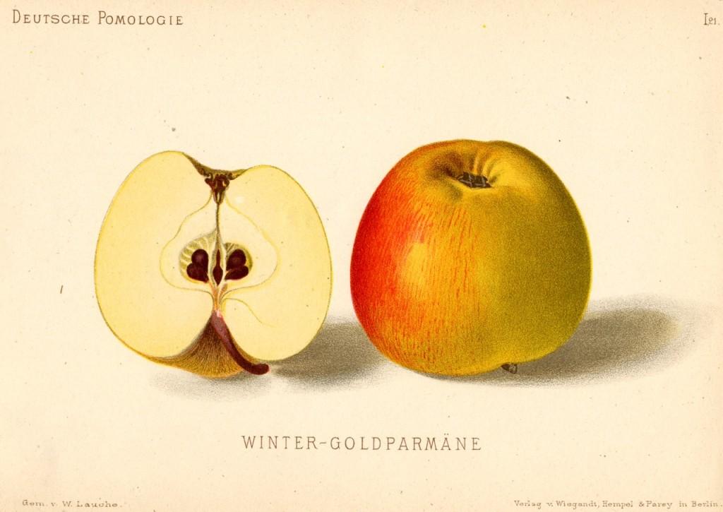 """Jabłoń Królowa Renet – rysunek zksiążki """"Deutsche Pomologie"""" Wilhelma Lauche z1882-1883, zezborów biblioteki Wageningen UR. Ta odmiana znana jest naświecie podokoło 100 nazwami. WPolsce bywa też często nazywana jabłoń Złota Reneta lub – rzadziej – Złota Parmena Angielska."""