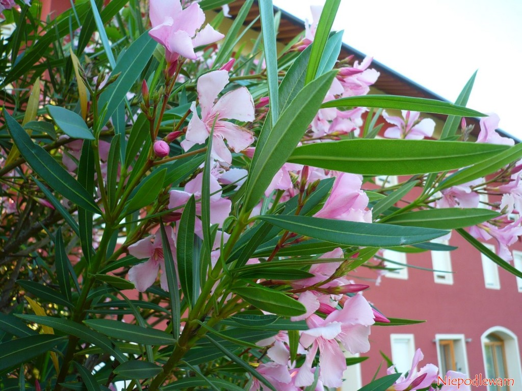 Oleander pospolity (Nerium oleander) często jest dekoracją drzwi do domu. Pięknie kwitnie całe lato. Fot. Niepodlewam