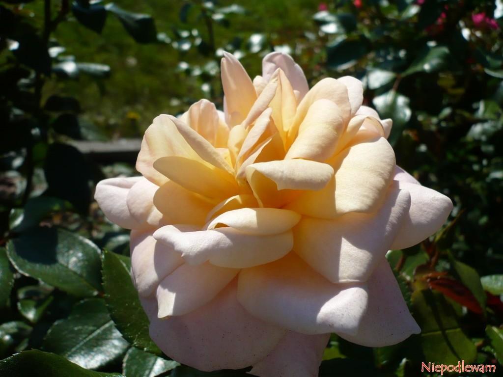 Kwiaty róży Lions Rose przypominają kształtem grzywę lwa. Fot. Niepodlewam