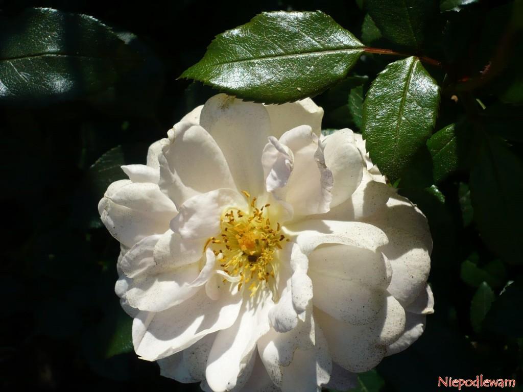 Przekwitające kwiaty róży Lions Rose płowieją w słońcu. Na takim etapie najlepiej je obcinać. Fot. Niepodlewam