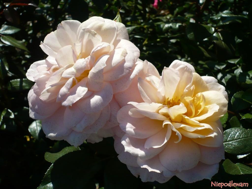 Róża Lion Rose kwitnie bardziej obficie, jeśli przekwitłe kwiaty systematycznie się obcina. Fot. Niepodlewam